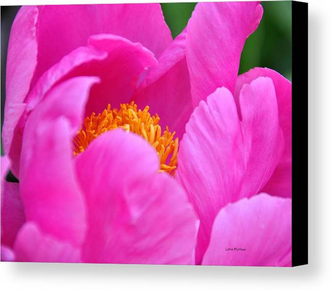 Peony Canvas Print featuring the photograph Pink Peony In Evening by Lorrie Morrison
