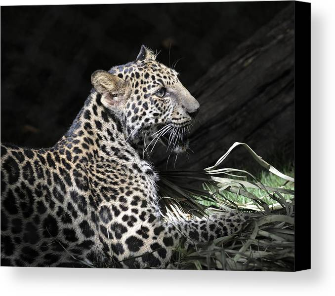 Leopard Canvas Print featuring the photograph Playtime by Keith Lovejoy