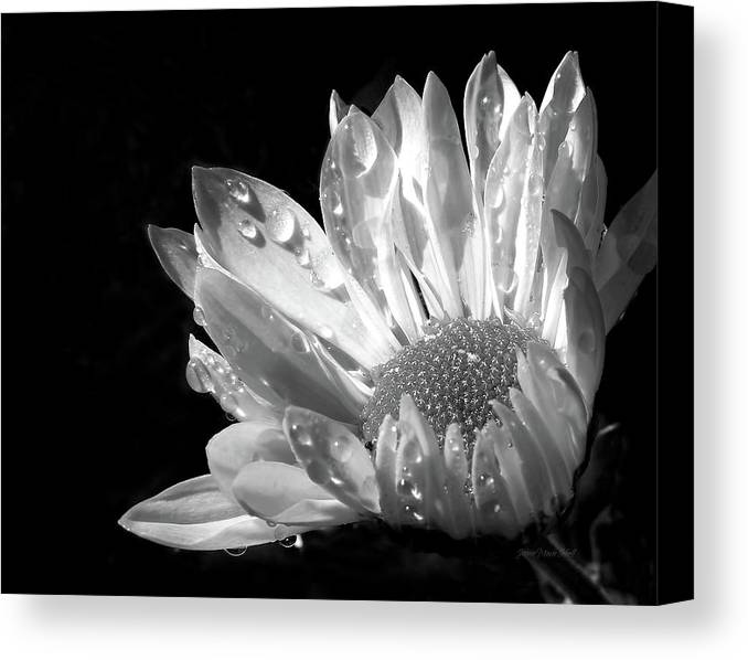 Daisy Canvas Print featuring the photograph Raindrops On Daisy Black And White by Jennie Marie Schell