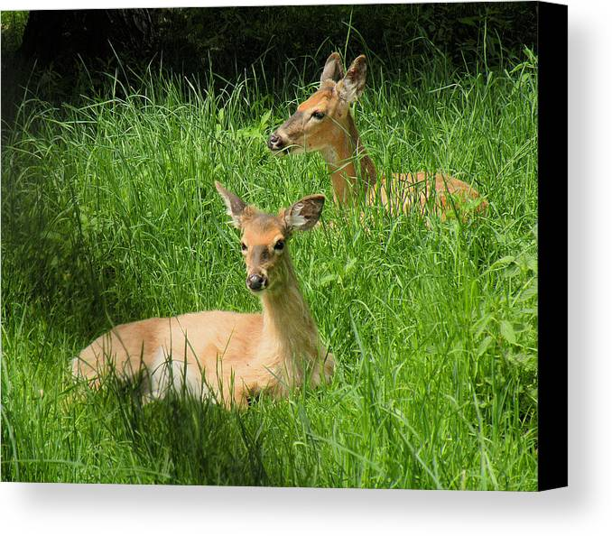 Deer Canvas Print featuring the photograph Two Deer In Tall Grass by Rosalie Scanlon