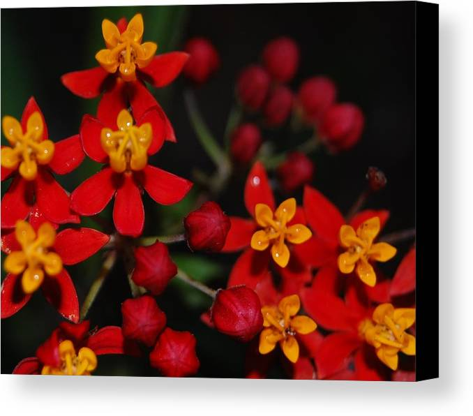 Asclepias Canvas Print featuring the photograph Waxy by Jean Booth