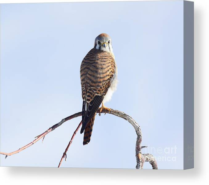 Animal Canvas Print featuring the photograph Morning Hunt by Dennis Hammer