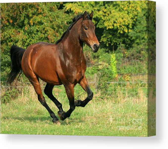 Horse Canvas Print featuring the photograph Running Free by Angel Ciesniarska