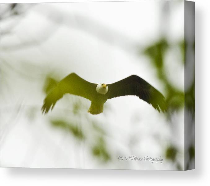Bald Eagle Canvas Print featuring the photograph Bald Eagle Flying To Perch by Crystal Heitzman Renskers
