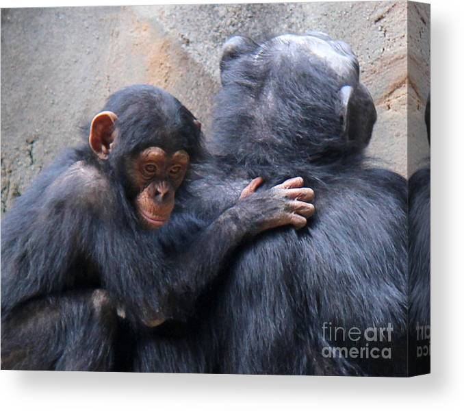 This Mother And Baby Chimpanzee Were Relaxing After A Meal At The L.a. Zoo. Canvas Print featuring the photograph Comfort by Cheryl Del Toro