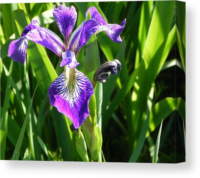 Flowers Canvas Print featuring the photograph Purple Iris by Kristy Fudge