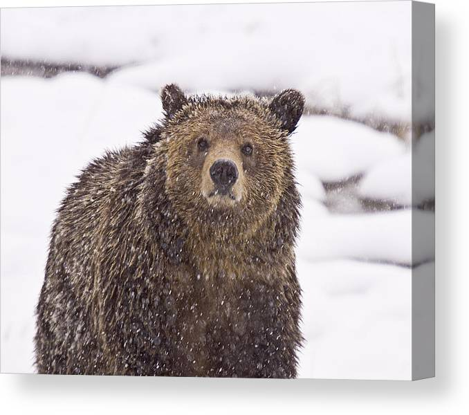 Grizzly Bear Canvas Print featuring the photograph Snowy Grizzly by Scott Moss