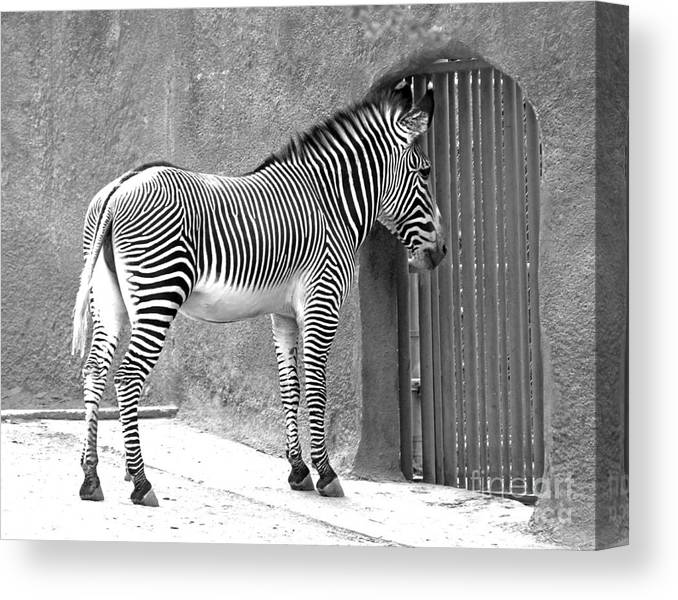 Zebra Canvas Print featuring the photograph Zebra Feeding Time by Cheryl Del Toro