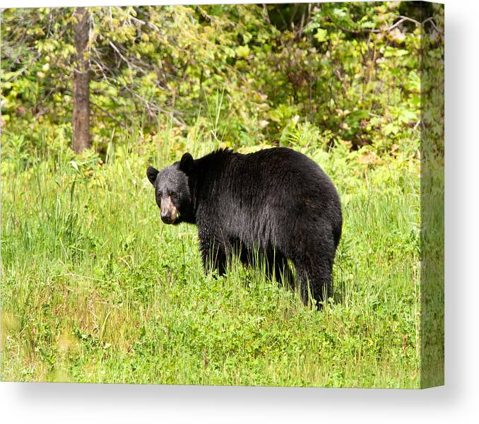 Black Bear Canvas Print featuring the photograph Black Bear by Donna Caplinger
