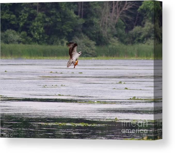 Osprey Canvas Print featuring the photograph Osprey by September Stone
