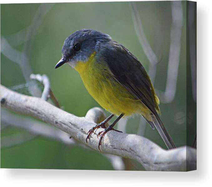 Robin Canvas Print featuring the photograph Eastern Yellow Robin by Peter Krause