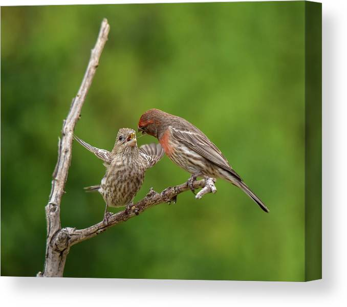 Linda Brody Canvas Print featuring the photograph Finch Feeding Time I by Linda Brody