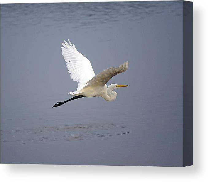 Egret Canvas Print featuring the photograph Great Egret In Flight by Kenneth Albin