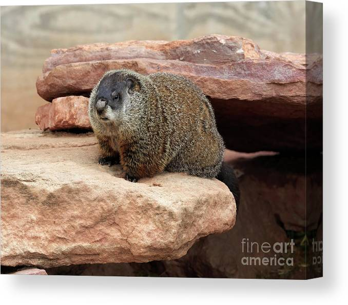 Groundhog Canvas Print featuring the photograph Groundhog by Louise Heusinkveld