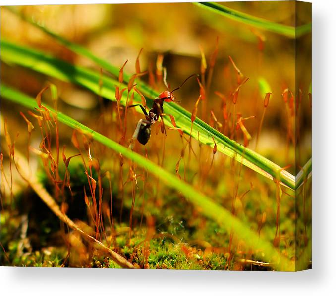 Ant Canvas Print featuring the photograph Macro Of An Ant by Jeff Swan
