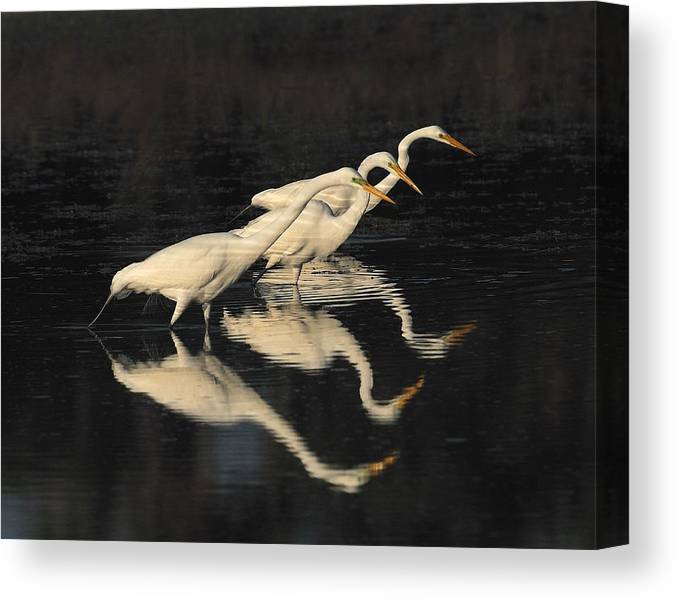 Egret Canvas Print featuring the photograph Merritt Island Egrets by John R Young Jr