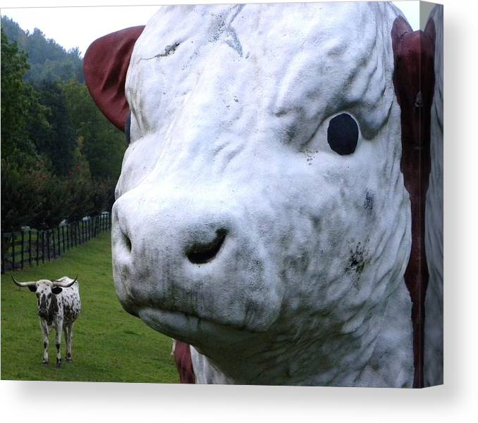 Cows Canvas Print featuring the photograph Perspective by Cindy Gacha