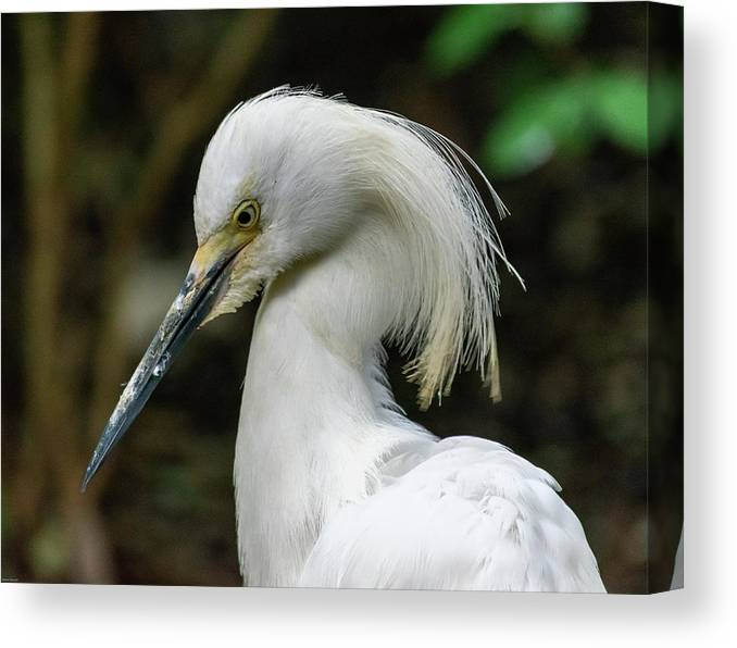 Snowy Egret Canvas Print featuring the photograph Snowy Egret by Aaron Geraud