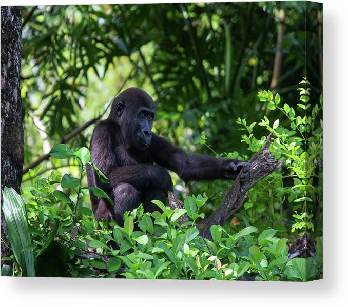 Nature Canvas Print featuring the photograph Young Gorilla by Arthur Dodd