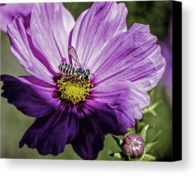 Flower Canvas Print featuring the photograph Cosmos Flower And Bee by George Davidson