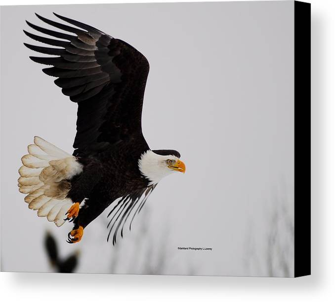 American Canvas Print featuring the photograph Hunting by Laura Lowrey