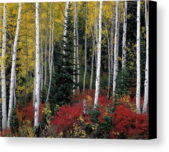 Aspen Canvas Print featuring the photograph A Forest Of Color by Leland D Howard