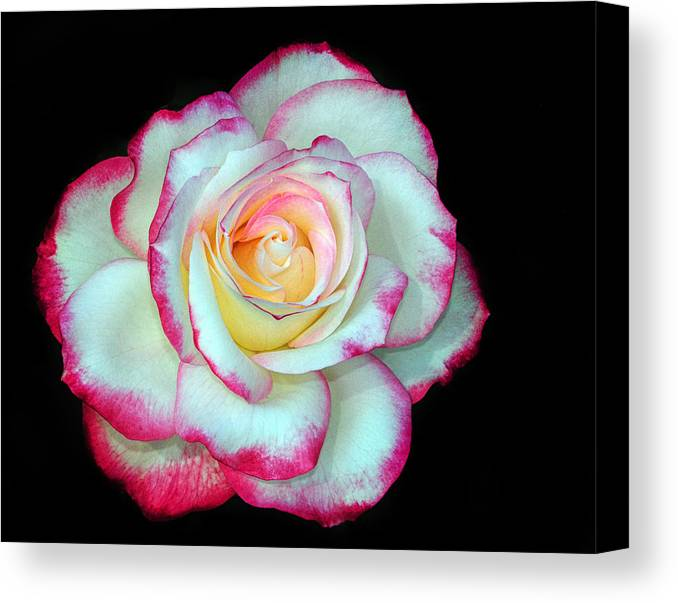 Rose Canvas Print featuring the photograph An Eyecatcher by Dave Mills