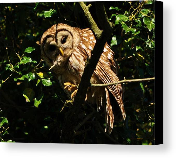 Barred Owl Canvas Print featuring the photograph Barred Owl Hello by William Fox