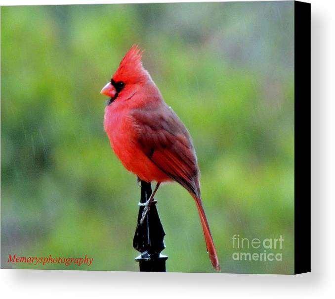 Male Cardinal Canvas Print featuring the photograph Cardinal In The Rain by Mary Williamson
