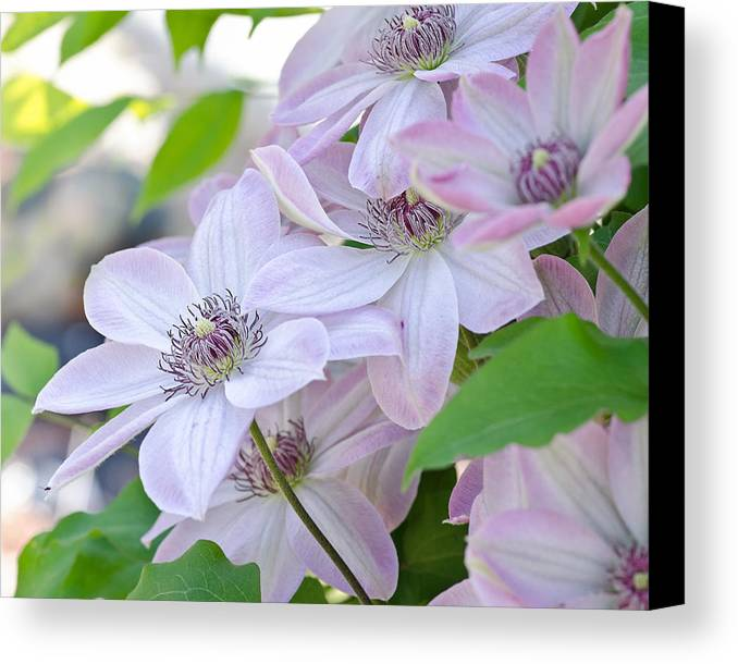 Clematis Canvas Print featuring the photograph Clematis At Jack's by Lisa Bryant