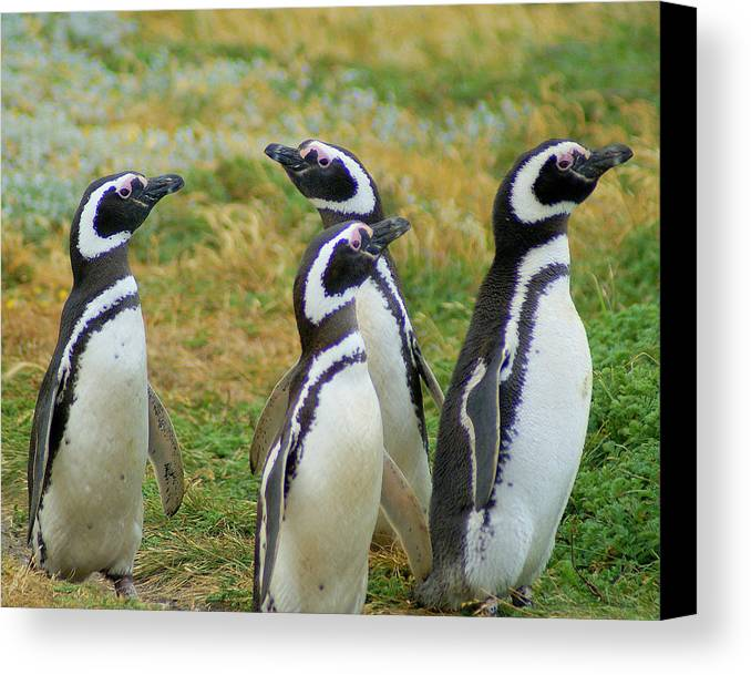 License For This Photo Is Available.penguin Canvas Print featuring the photograph Do You Smell That - Penguins by DerekTXFactor Creative
