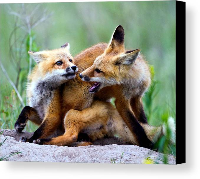 2012 Nbc Weather Calendar Canvas Print featuring the photograph Fox Kits At Play - An Exercise In Dominance by Merle Ann Loman