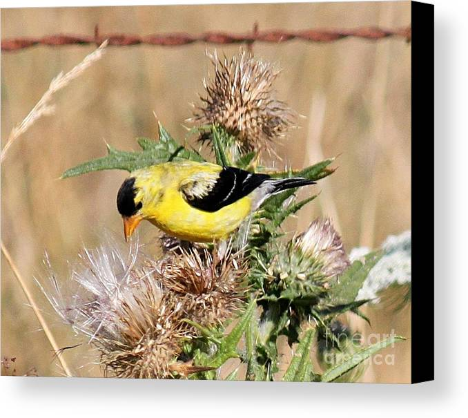 Gold Canvas Print featuring the photograph Goldfinch Quest 3 by Erica Hanel