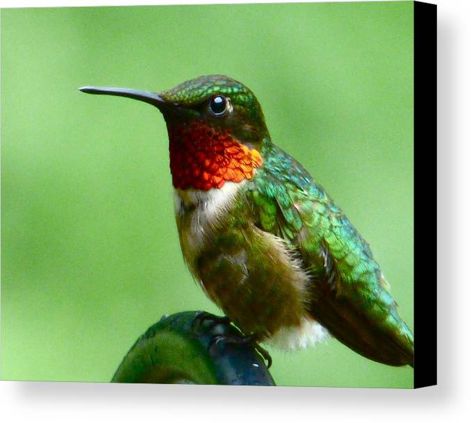 Hummingbird Canvas Print featuring the photograph Hummingbird At Rest by Jean Wright