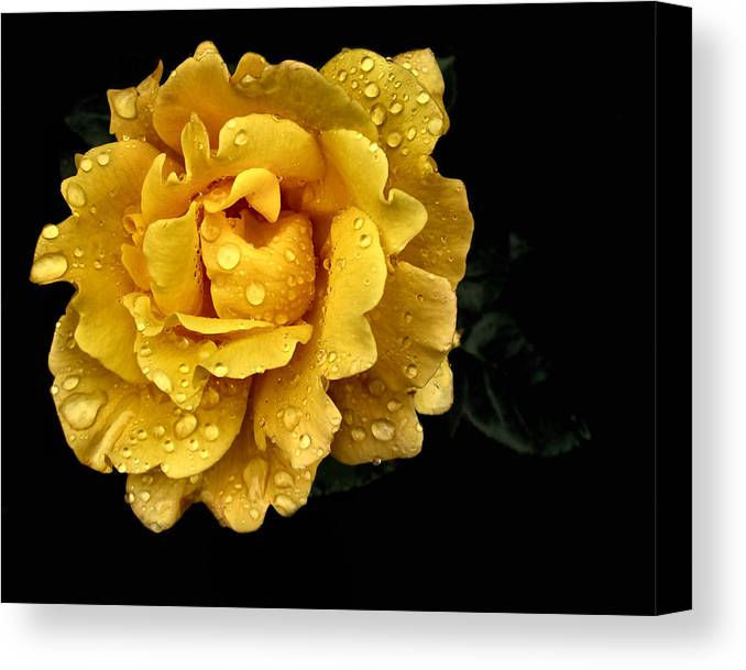 Yellow Rose Digital Art Canvas Print featuring the photograph Lone Yellow Rose by Stephanie Hollingsworth