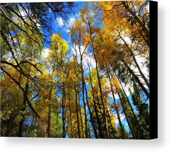 Aspens Canvas Print featuring the photograph Looking Up by Pam Garcia