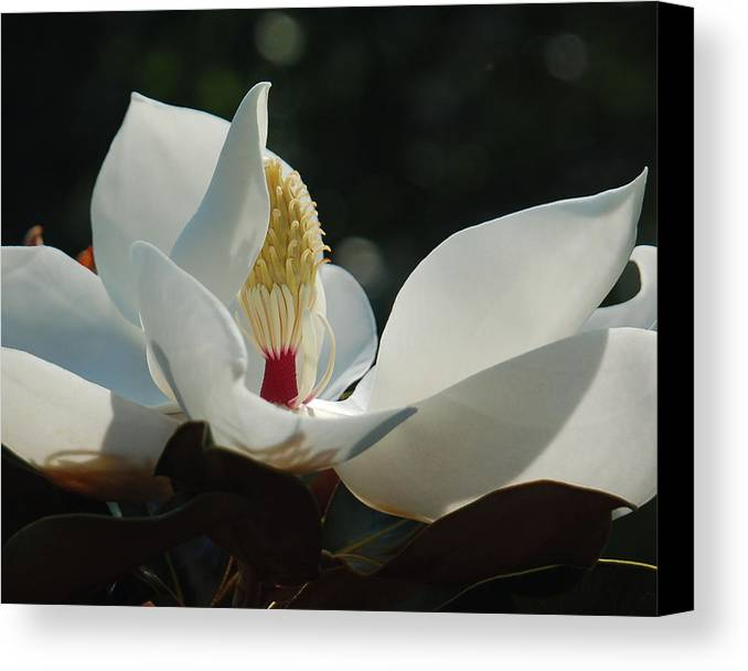 Magnolia Canvas Print featuring the photograph Magnolia Tiny Gem by Suzanne Gaff