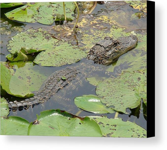 Alligator Canvas Print featuring the photograph On A Break by Brenda Romero