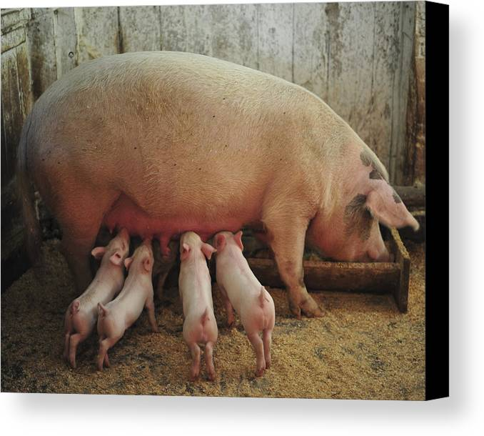 Piglets Canvas Print featuring the photograph Momma Pig And Piglets by Terry DeLuco