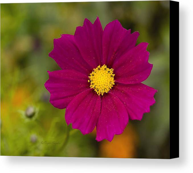 Pink Canvas Print featuring the photograph Pink Cosmos 3 by Roger Snyder