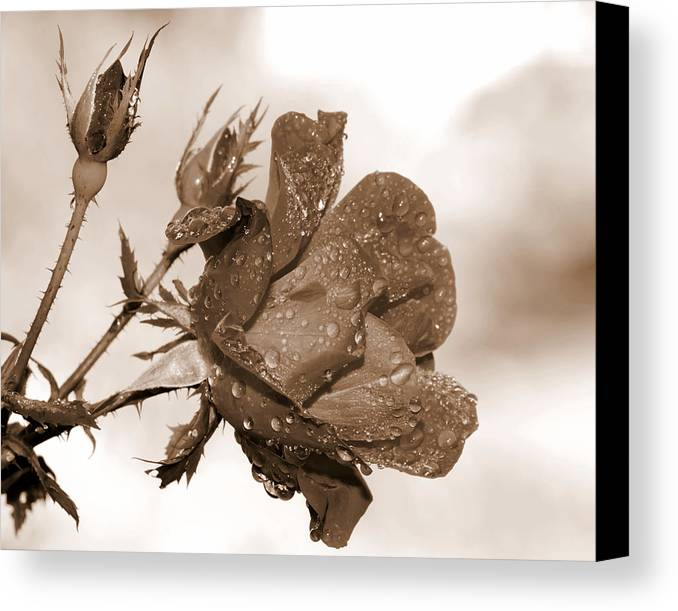 Rose Canvas Print featuring the photograph Raindrop Rose Close-up by Charles Feagans