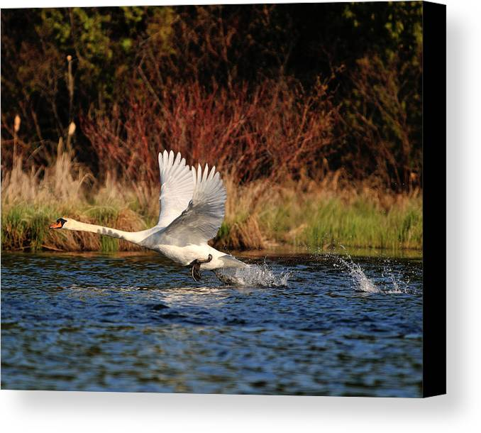 Swan Canvas Print featuring the photograph The Launch by Brian McNulty