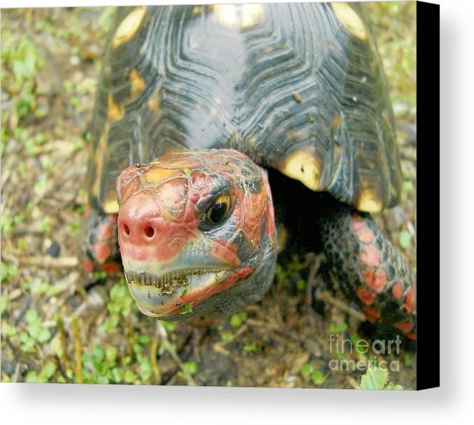 Tortoise Canvas Print featuring the photograph They Call Me Rudolph. by Richard Brooks