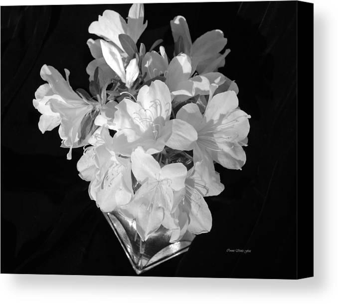 Azaleas Canvas Print featuring the photograph White Azaleas On Black by Connie Fox