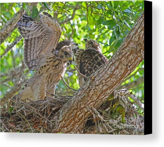 Hawks Canvas Print featuring the photograph Wing Test by Deborah Benoit