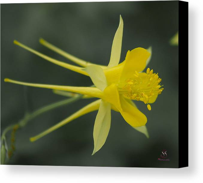 Yellow Columbine Canvas Print featuring the photograph Yellow Columbine by Steve Seeger