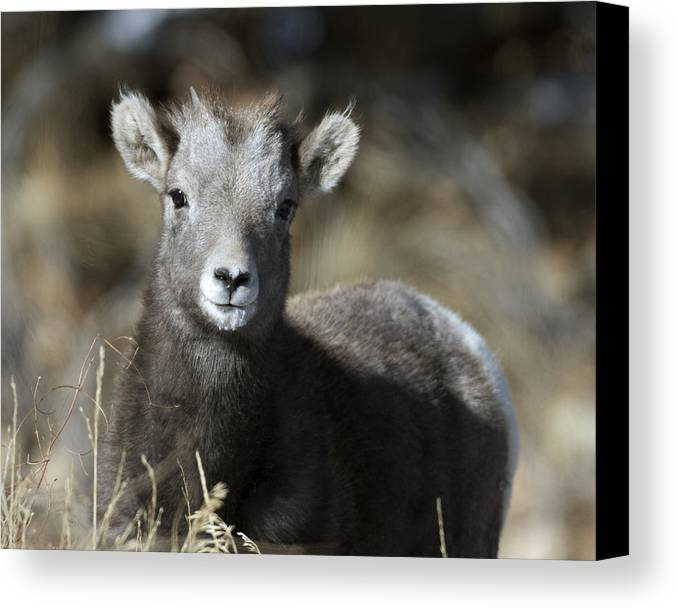 Young Bighorn Sheep Canvas Print featuring the photograph Young Bighorn Sheep by Gary Langley