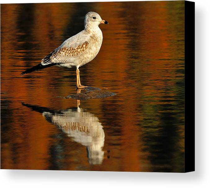 Ring-billed Gull Canvas Print featuring the photograph Youthful Reflections by Tony Beck
