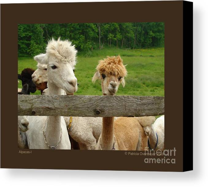 Animals Canvas Print featuring the photograph Alpacas-i by Patricia Overmoyer