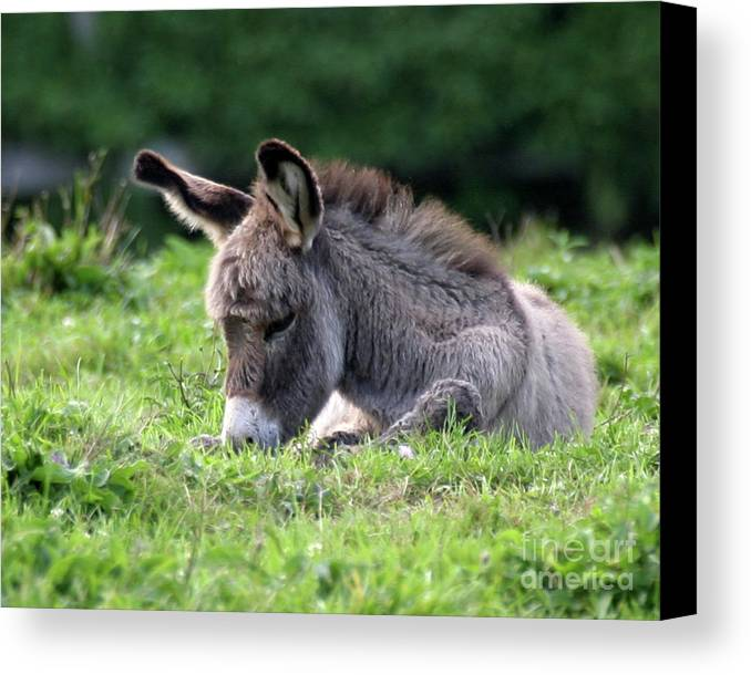 Donkey Canvas Print featuring the photograph Baby Donkey by Deborah Smith